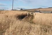 Sheep in the Barley