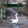 A swan takes a walk on The Strand