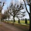 Pollarded trees, Oldway mansion, Paignton