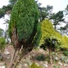 Conifers, Oldway mansion, Paignton