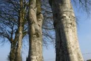 Beech trees near Collacott