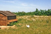 Farmland with Chickens, Reydon, Suffolk