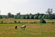 Farmland with Ponies, Reydon, Suffolk