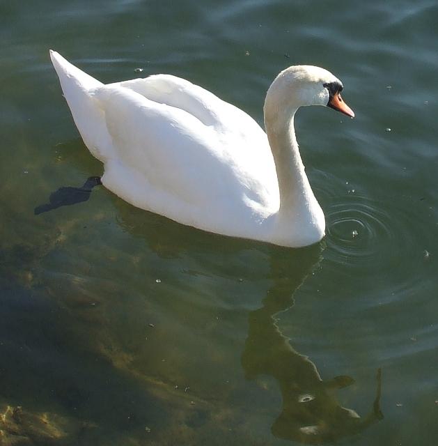 Swan, Wilstone Reservoir