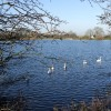 Swans on Tringford Reservoir
