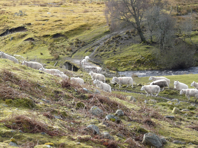 Sheep near Rearquhar