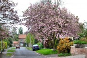 Blossom In Middle Street