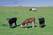 Cattle grazing on farmland near Freswick, Caithness