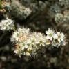 Blackthorn flowers, Preston Park