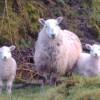 Ewe Plus Two
