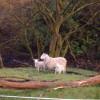Sheep Beside Camsail Burn