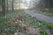 The Daffodil Way in Dymock Wood - 2