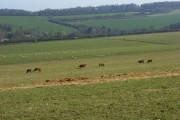 Pasture, Nuffield