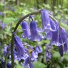 A real English bluebell in Lanacre Wood