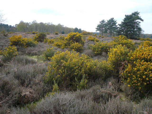 Budby South Forest - Heathland View