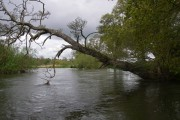 Falling tree on the river Avon