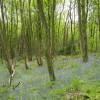 Bluebells at The Nag, Crich