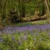 Bluebells, The Roundabouts