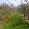 Apple Orchard north of  Burghill