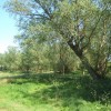 Stand of willow trees near Akenham