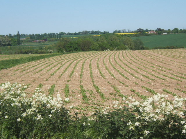 Field with young crop near Akenham