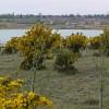 Gorse bushes at Albert Village Lake
