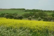 Rape crops from Scrooby Lane