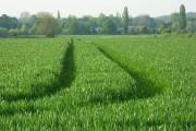 Wheat, Sutton Courtenay