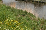 Buttercups by the Weaver