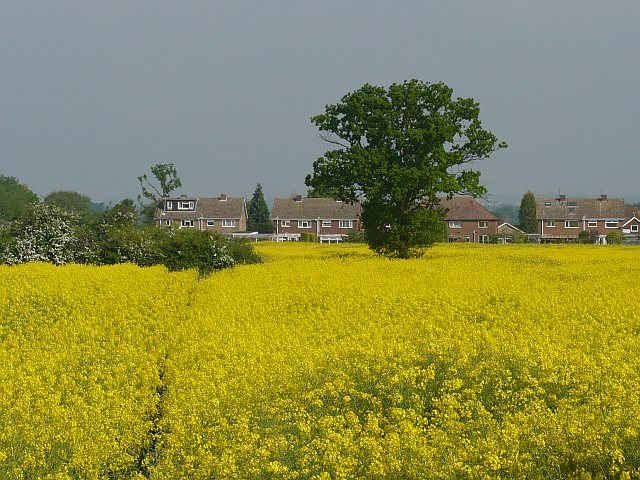 Oilseed rape field near Wilstead