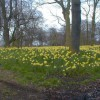 An Ocean of Daffodils