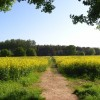 Footpath through oil-seed rape, Hurst