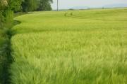 Barley, Bothampstead