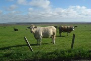 Cattle near Myrelandhorn
