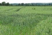Ripening wheat near Caerwents