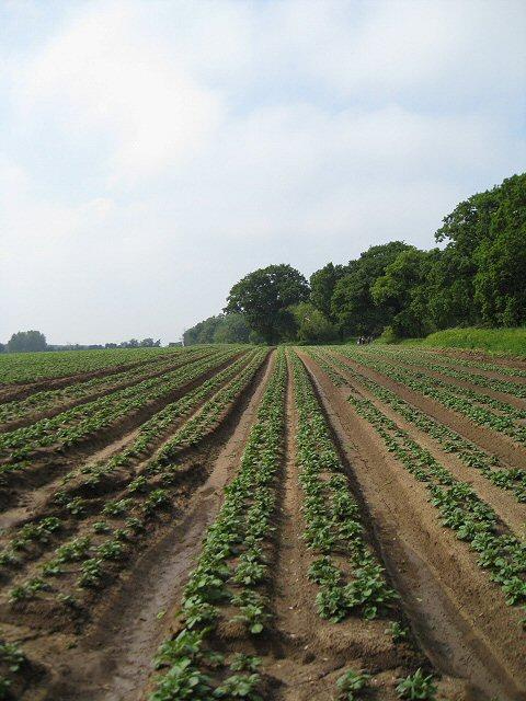 Potato plants adjacent to Bush Covert