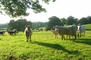 Cattle, Arborfield
