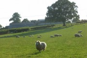 Sheep, Arborfield