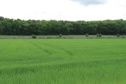 Spring barley, Lennoxlove