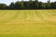 Barley, Wanborough