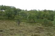 Morrone Birk Wood