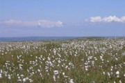Cotton grass on Amalveor Downs