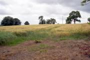 Ripening Corn, Boggle Hill Road