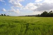 Barley, Somerton