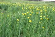 Yellow Flags-Irises