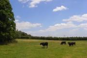 Cattle, Woolley Green
