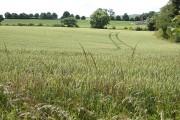 Wheat field at Llanwarne