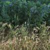 Evidence of Prievous Crops