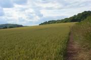 Wheat, Saunderton