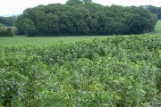 Field of broad beans